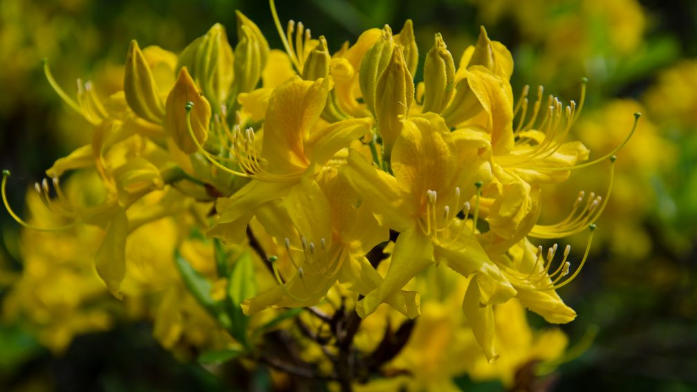 Rhododendron luteum sp.